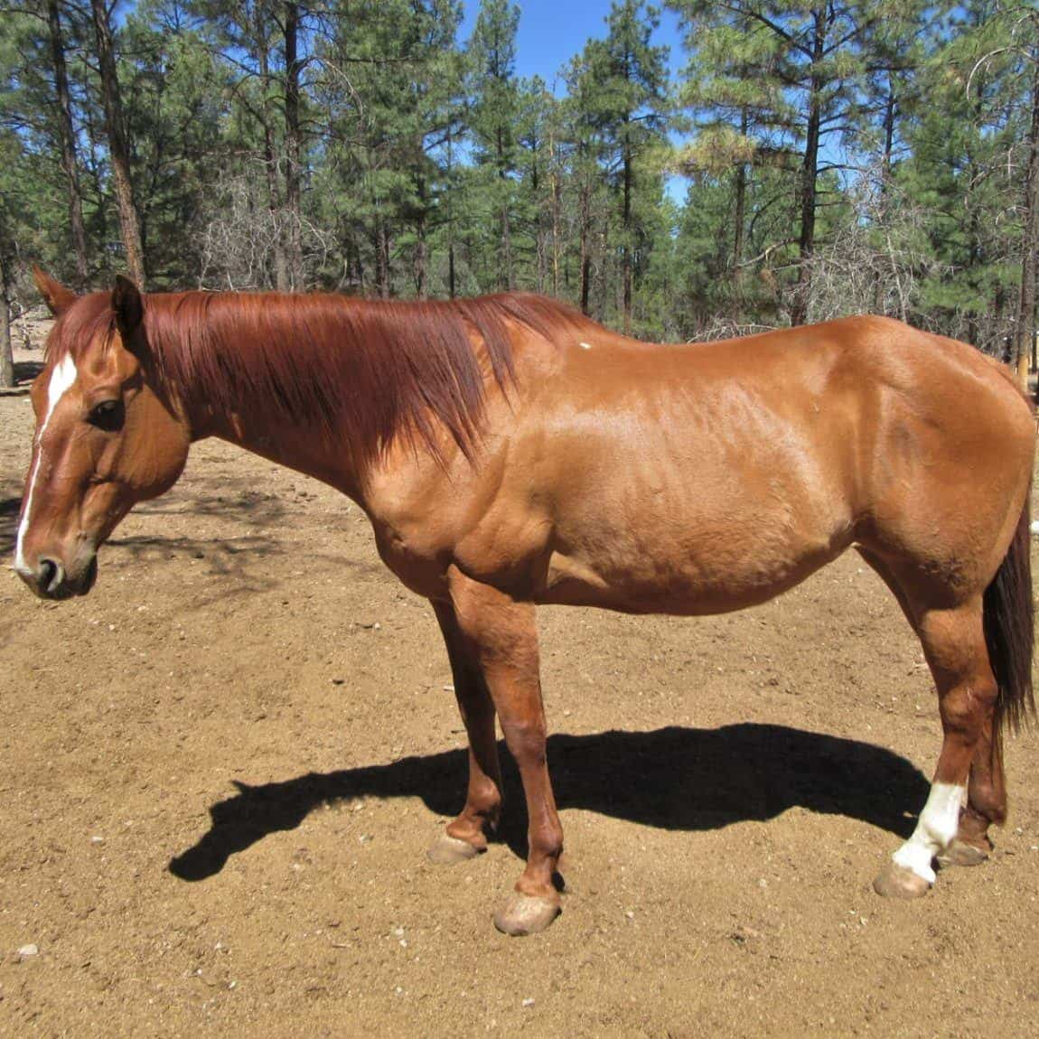 Jasper, a red dun colored horse at Geronimo Trail Guest Ranch