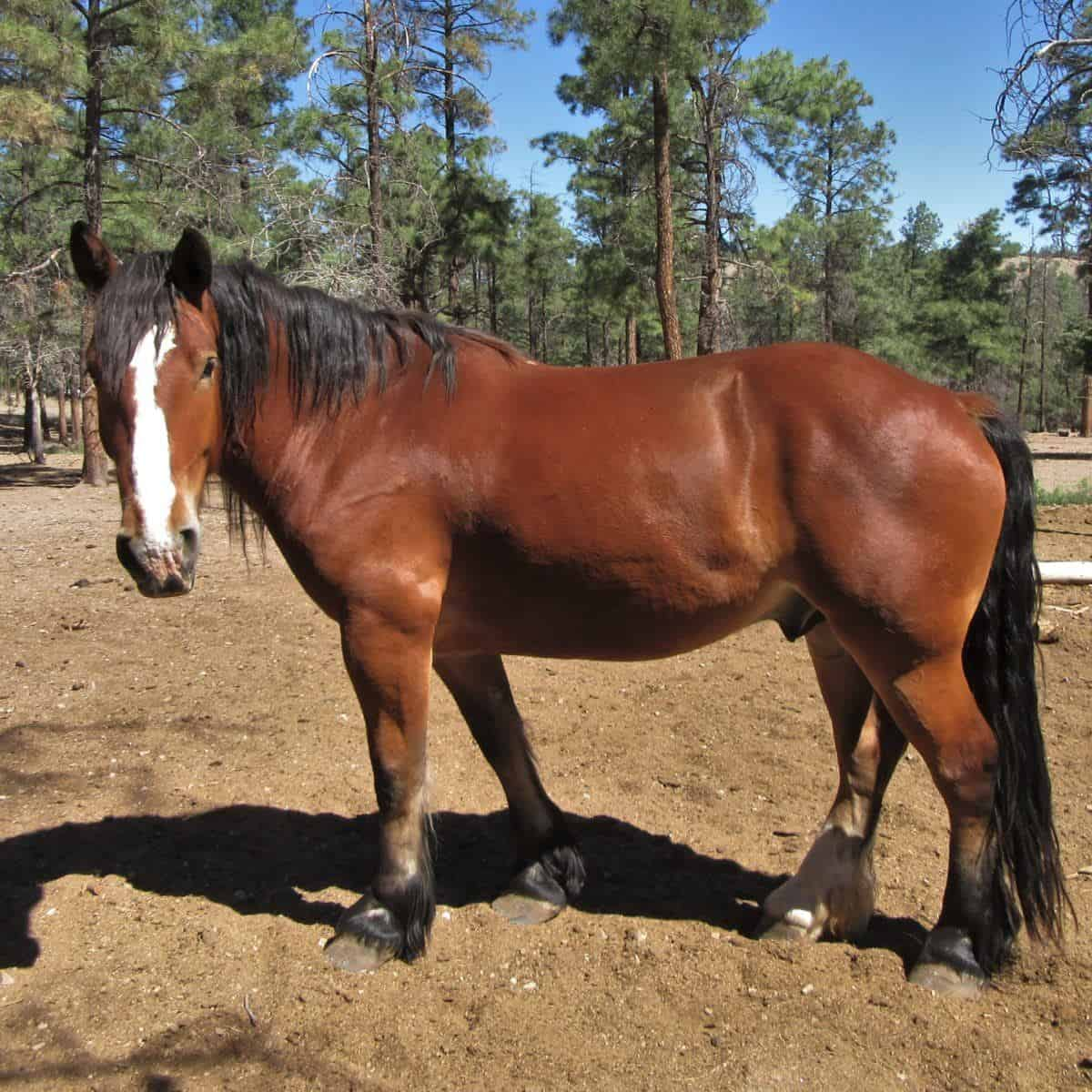 Johnnie, a Clydesdale Quarter Horse cross at Geronimo Trail Guest Ranch