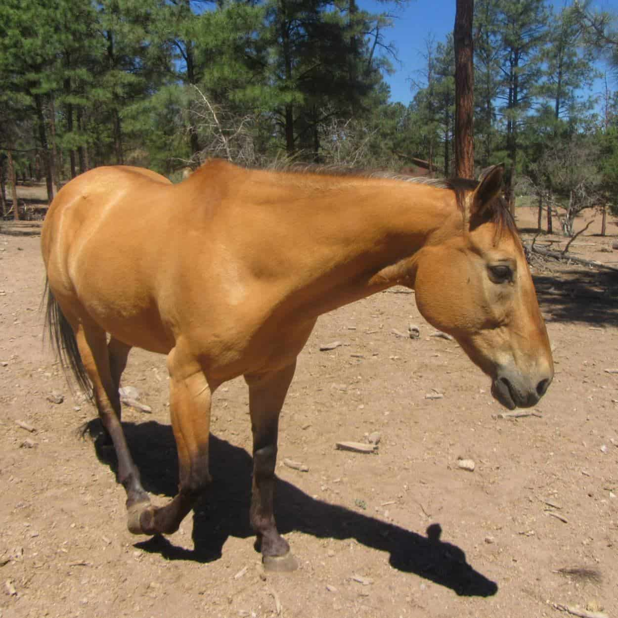 Buck, a buckskin colored horse at Geronimo Trail Guest Ranch