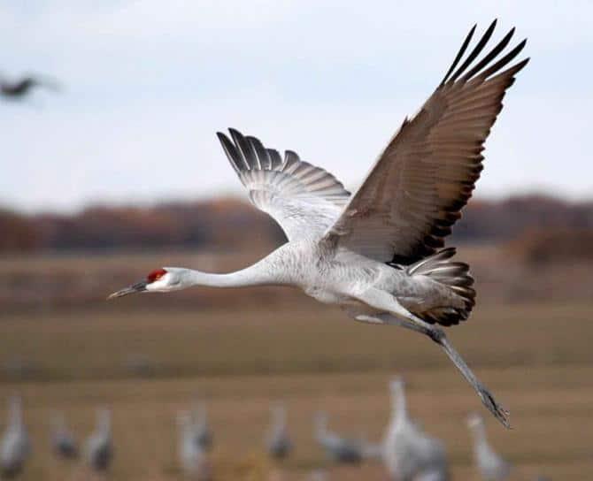 Festival of the Cranes