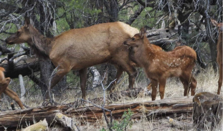Elk and baby in forest