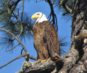 A bald eagle on Geronimo Trail Guest Ranch.