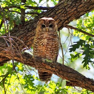 Spotted Owl at Geronimo Trail Guest Ranch, Gila National Forest, New Mexico